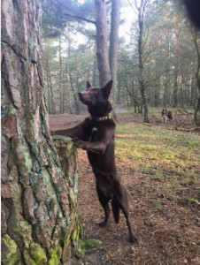 Kelpie tegen boom